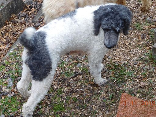 Moscow Mills Mo Standard Poodle Meet Rosie A Dog For Adoption