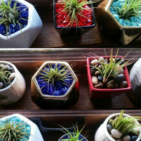 For Sale: Living Potted Air Plants for $15