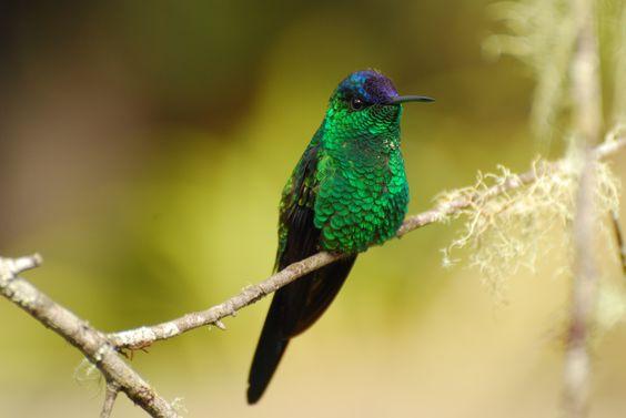 Beija-flor-de-fronte-violeta Reserva Guainumbi Gabriela Maltos ©