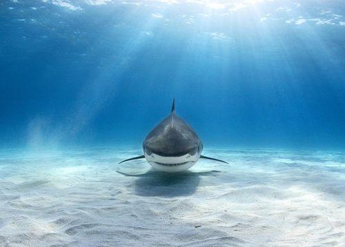"""""""Tiger shark"""" by alex dawson"""