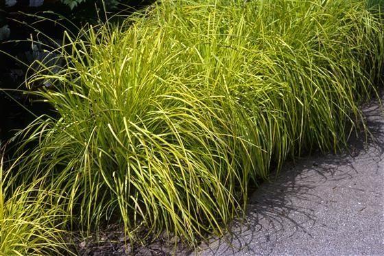 Carex Bronze Reflection. les 25 meilleures idées de la catégorie ...