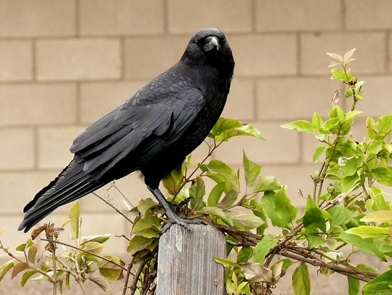 American crow, Corvus brachyrhynchos. Because these are abundant and widespread, they played an important role in West Nile Virus outbreaks in the U.S.