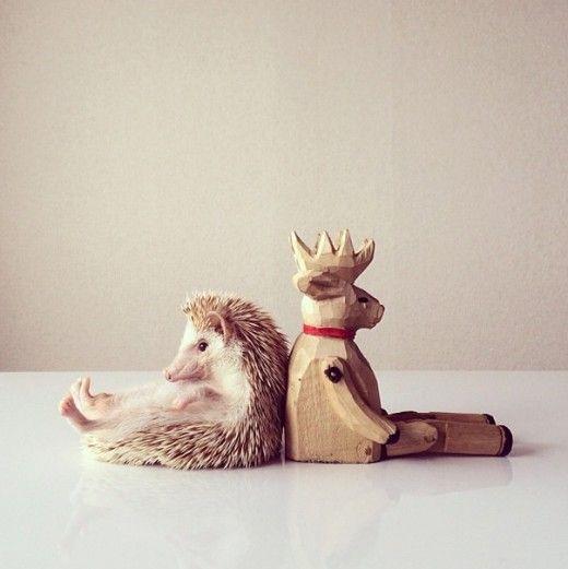 Darcy the flying hedgehog Instagram: