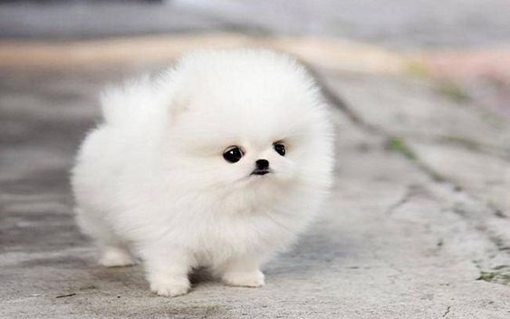 Chó Phốc sóc Teacup có giá cao nhất