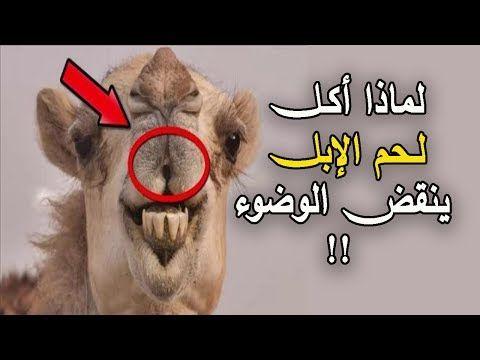 هل تعلم لماذا أمر الرسول ﷺ بالوضوء بعد أكـل لـحم الإبل حقائق مثيرة عن الابل Youtube Islam Beliefs Islam Youtube