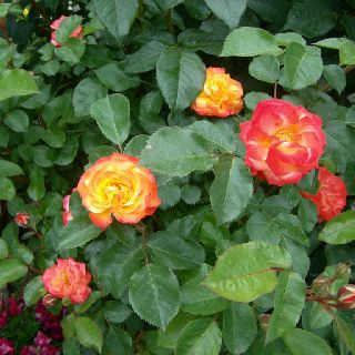 My father's roses...