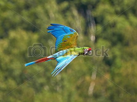 Just sold @canstockphoto: Military Macaw (Ara militaries) #bird #parrot #wildlife http://www.canstockphoto.com/military-macaw-ara-militaris-22193619.html