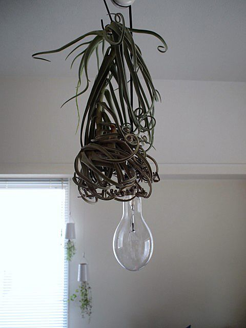 doinel 水上灯 & NEPETHICA AIR PLANT : ALTERNATIVE