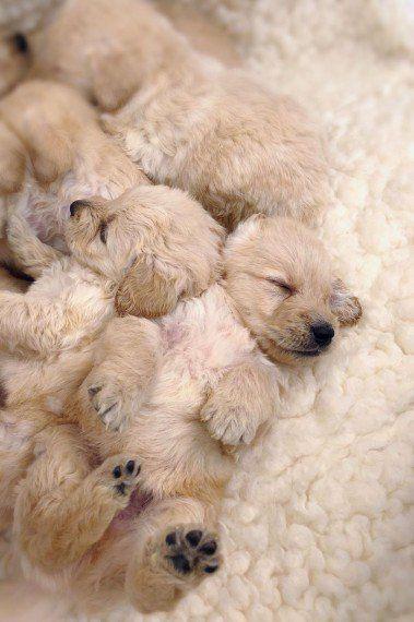 Pra Clear Kc Reg Miniature Dachshund Puppies In 2020 Dachshund