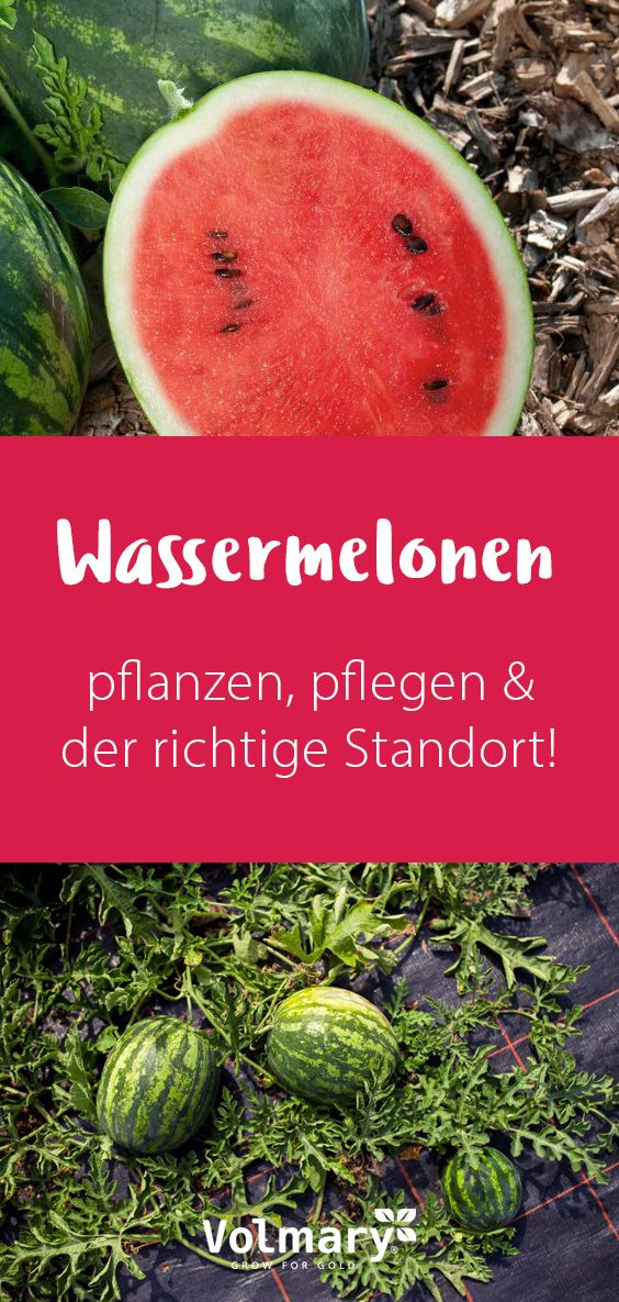 Mini Wassermelonen Pflanzen Pflegen Und Ernten Wassermelone Pflanzen Wassermelone Mini Wassermelone