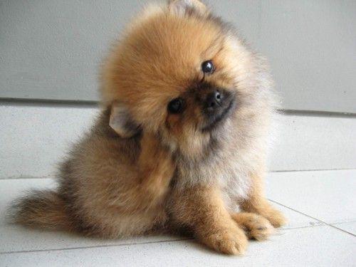 Rare Genuine Miniature Teacup Pomeranian Puppies For Sale
