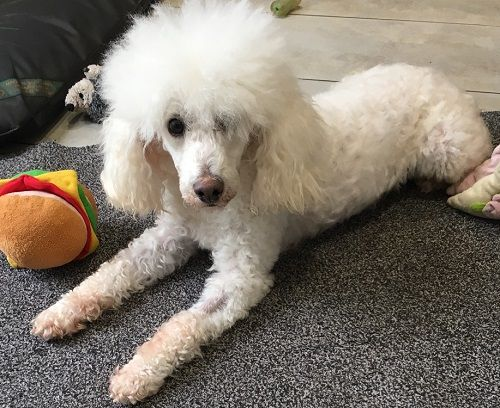 Jojo Toy Poodle Dog Rescue Adoption Fostering In London