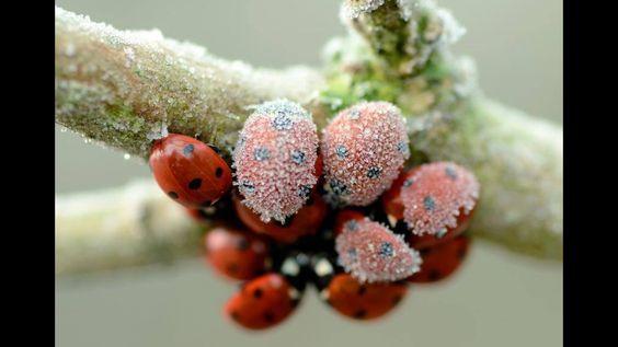 Hundled frosted ladybugs
