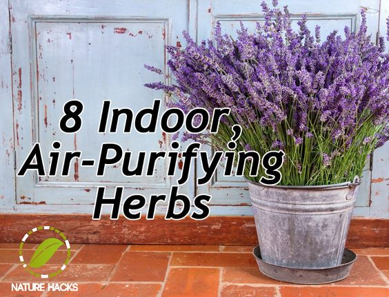 8 Indoor Air Purifying Herbs - The follow herbs can suck almost 90% of VOCs out of your room and leave you with pure, filtered air: Rosemary Lavender Basil Mint Jasmine Geranium Coffee plant Woodbine:
