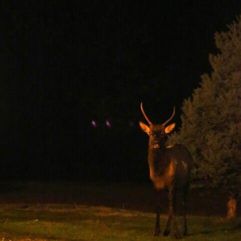 Packwood Elk