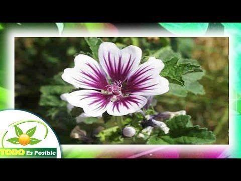 La Malva Planta Medicinal Beneficios Y Propiedades De La Malva Para Que Malva Planta Plantas Medicinales Plantas