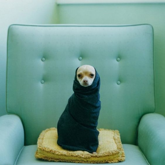 Chic Chihuahua in sweater on cushion on tufted vintage chair. #LucySnowe #chihuahua Amazing Dog Houses and Adorable Puppies to Pin