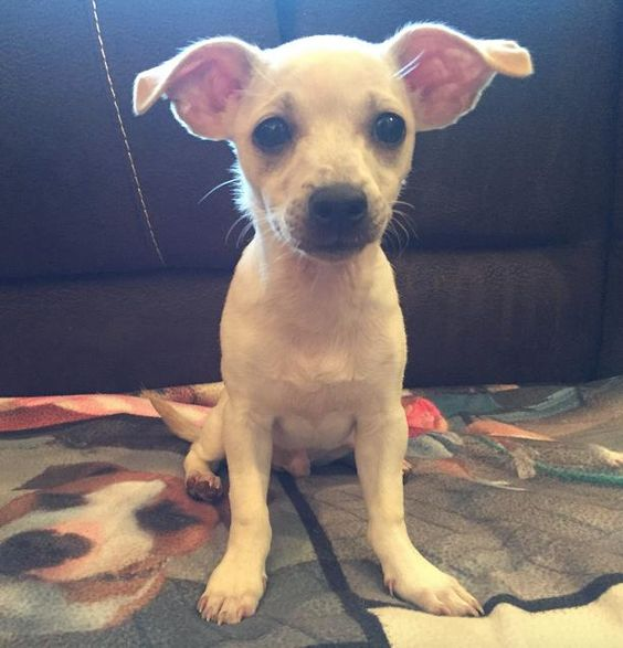 Darwin is an adoptable Chihuahua searching for a forever family near Torrington, CT. Use Petfinder to find adoptable pets in your area.