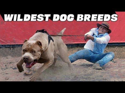 10 Wildest Dog Breeds Youtube Dog Breeds