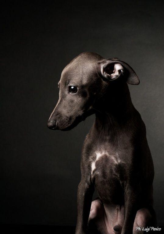 Italian Greyhound - Lupavaro Keplero: