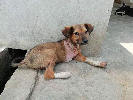 Woodland Park Nj Pharaoh Hound Meet Toto Nepali Tripod A Dog For Adoption Cat Adoption Kitten Adoption Dog Adoption
