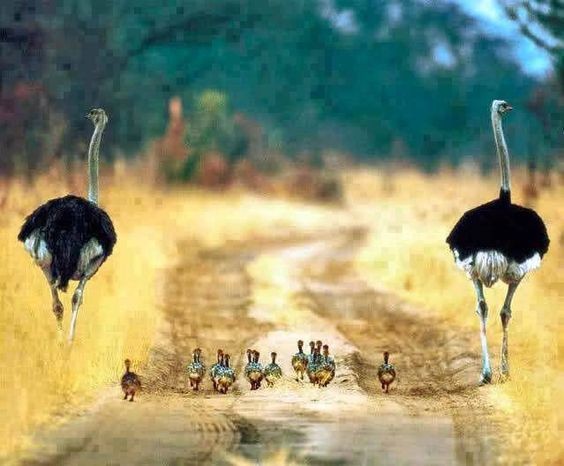 Two male ostriches and their baby chicks
