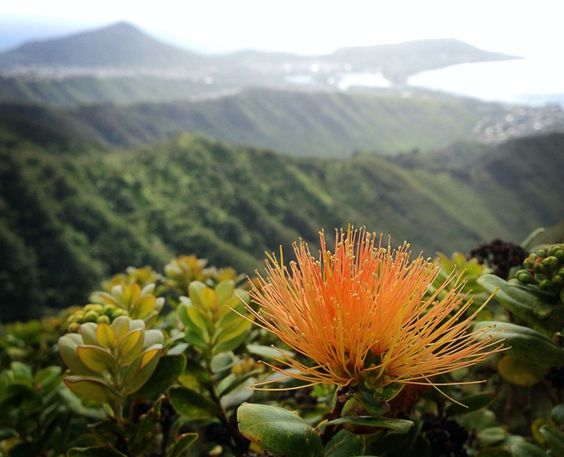 #OhiaLove Help Save Hawai'i Forests by Marian Chau - GoFundMe