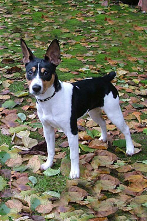 This Is A Rat Terrier Here Is A Fun Fact Rat Terriers Were Bred