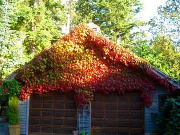 Boston ivy for retaining wall in Autumn.