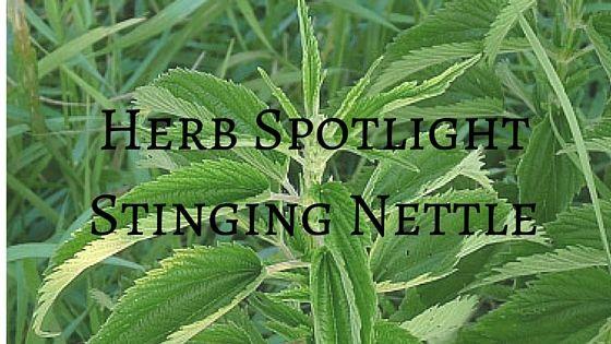 Herb SpotlightStinging Nettle