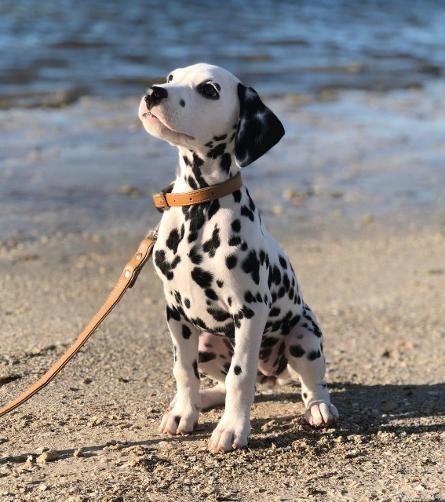 chó Dalmatian bên bờ biển