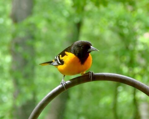 Where Did The Birds Go This Summer Birder Oriole Bird Colorful Birds