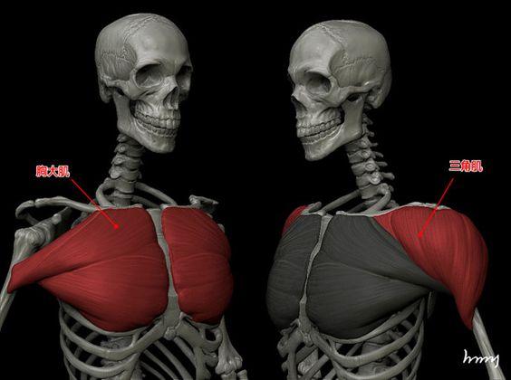 Muscles (Pectoralis Major, Deltoid)