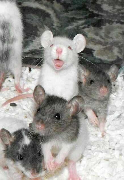 Rats, Babies and The comedian on Pinterest