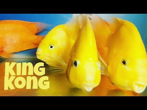 King Kong Yellow Parrot Fish At Delhi S Fish Aquarium Home Shop Laxmi Nagar Youtube Parrot Fish King Kong Yellow Fish