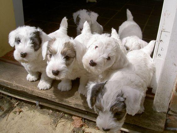 Sealyham Terrier puppies