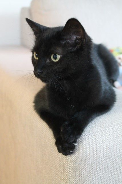 Someone Must Have Snuck Into Our Home And Taken A Picture Of Satin The Most Beautiful Smartest And Sweetest Cat Ever I In 2020 Newborn Kittens Crazy Cats Black Cat
