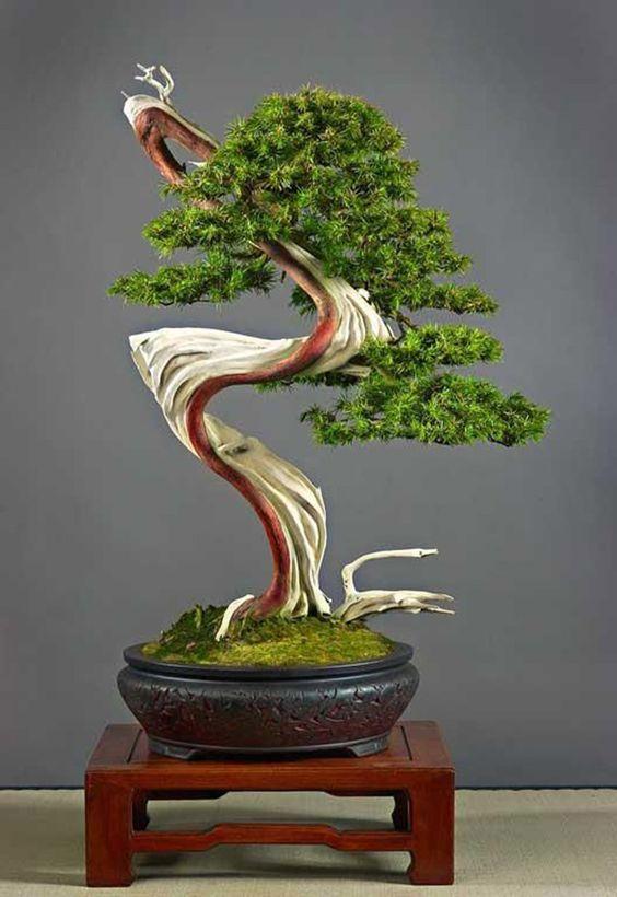 Juniper-Bonsai....