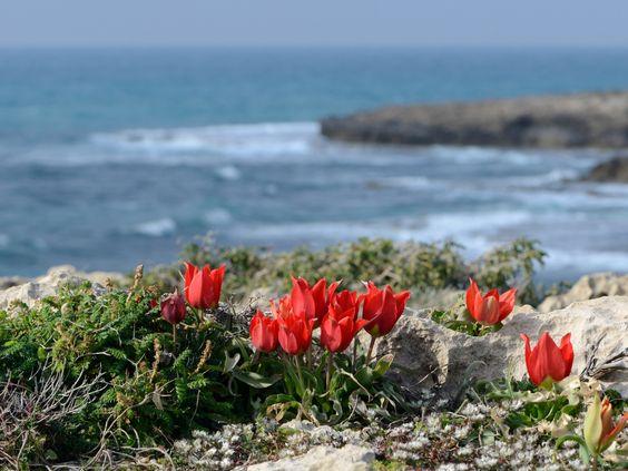 Tulipa agenensis sharonensis