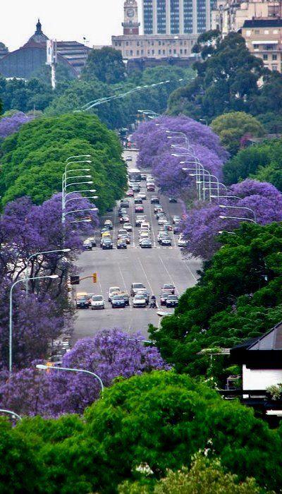 Buenos Aires , Argentina .Los jacarandaes estallan en todo su esplendor en la primavera porteña . . .