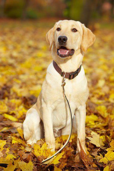 Yellow Labrador Retriever                                                                                                                                                      Más
