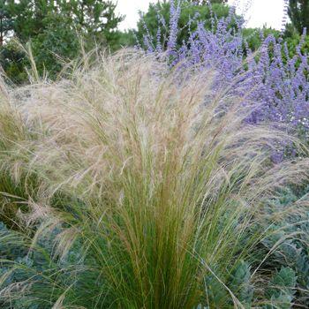stipa tenuissima - zartes federgras, engelhaar :: mit stauden, Hause und Garten