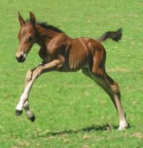 foal playing