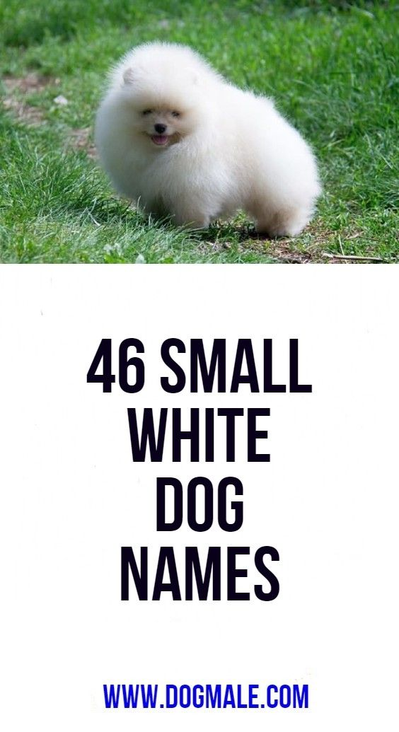 46 Small White Dog Names Dog Names White Dogs Small Dog Names