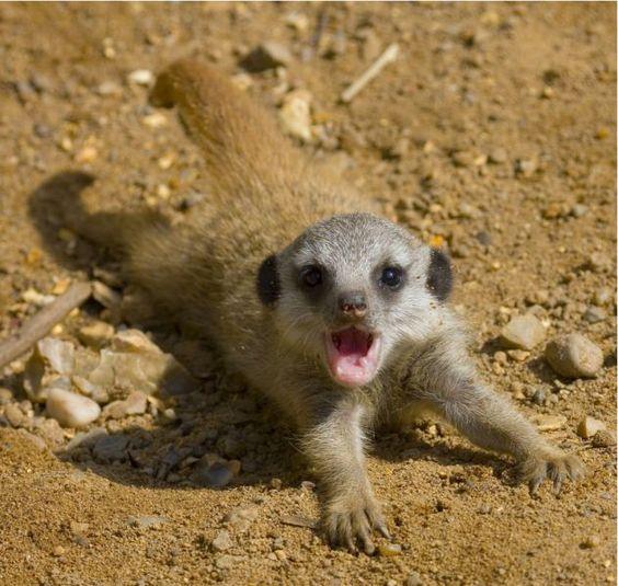 Funny baby meerkats