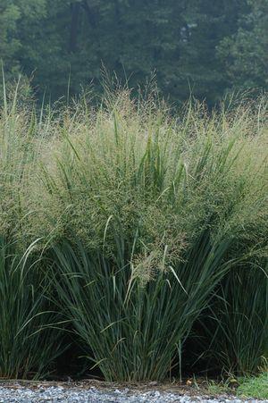 grasses seeds and nature on pinterest. Black Bedroom Furniture Sets. Home Design Ideas