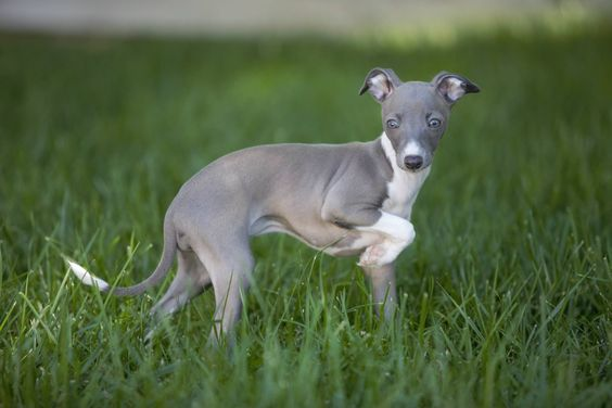 Italian Greyhound puppy Phillipa Fiona Thing McCain at 9 weeks. Photo credit: Adam Swift Photography