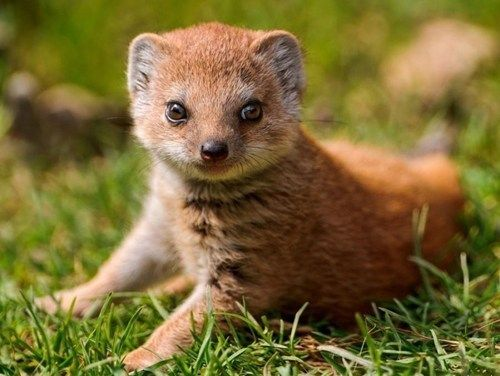 Image result for cute baby mongoose