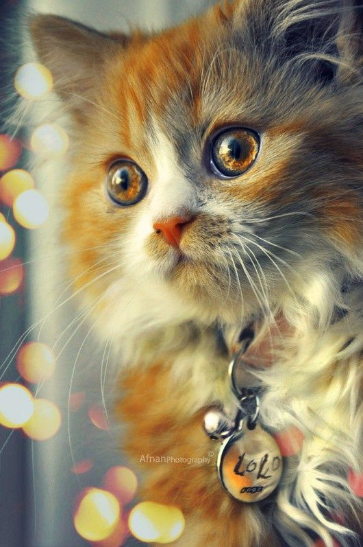 The Kitten with Amber Eyes