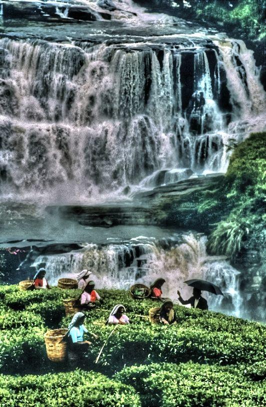SriLanka women pick the tea leaves. CLICK to enlarge